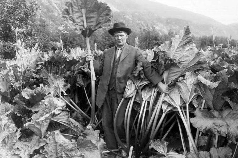 How Alaska Became Home to Humongous Rhubarb