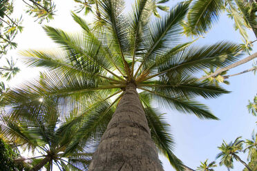 Palms flourish in tropical zones, but as the world warms, they'll show up in new places.