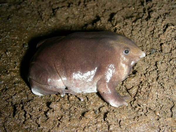 Meet the World's Newest Pig-Nosed Purple Frog