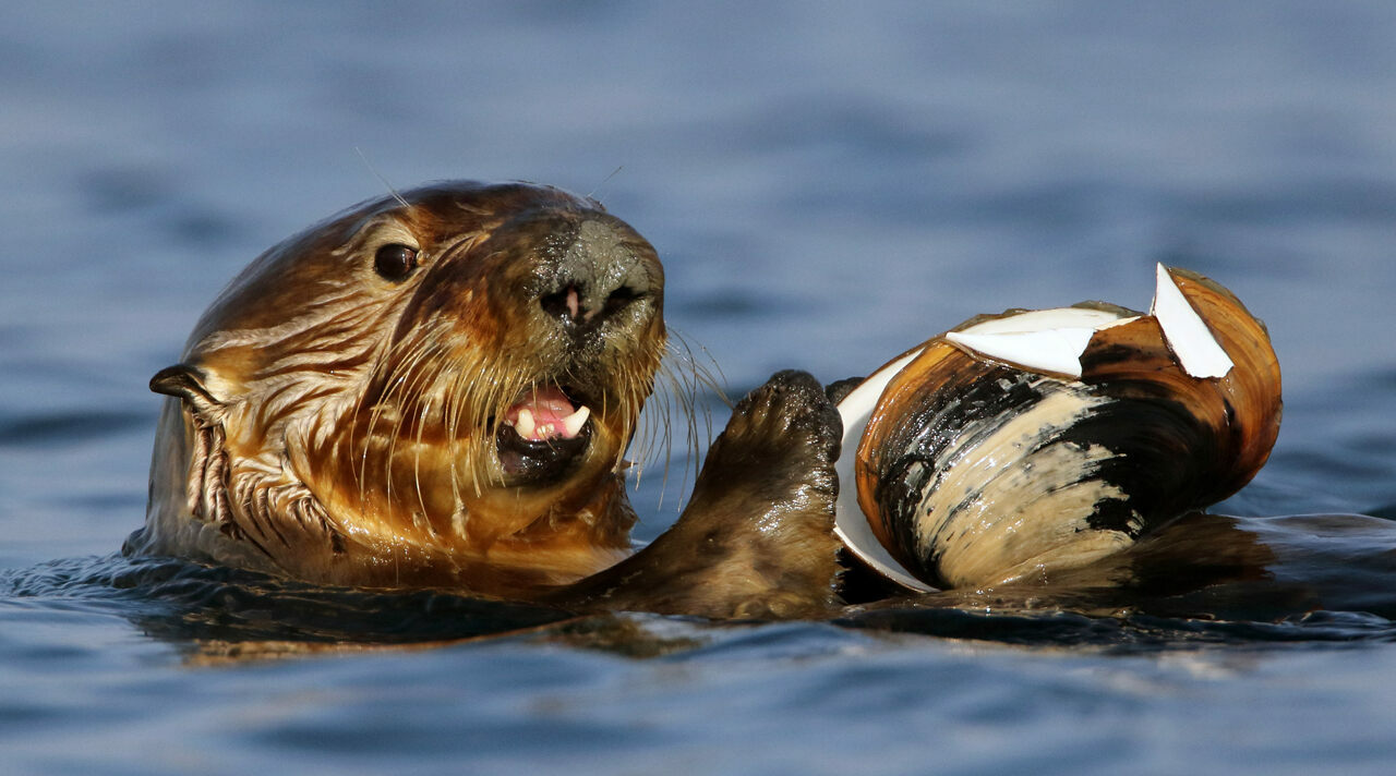 "West Coast sea otters are picking up <em>Sarcocystis neurona</em> from opossums via clams—a complex transmission chain exacerbated by human-induced ""pathogen pollution."""