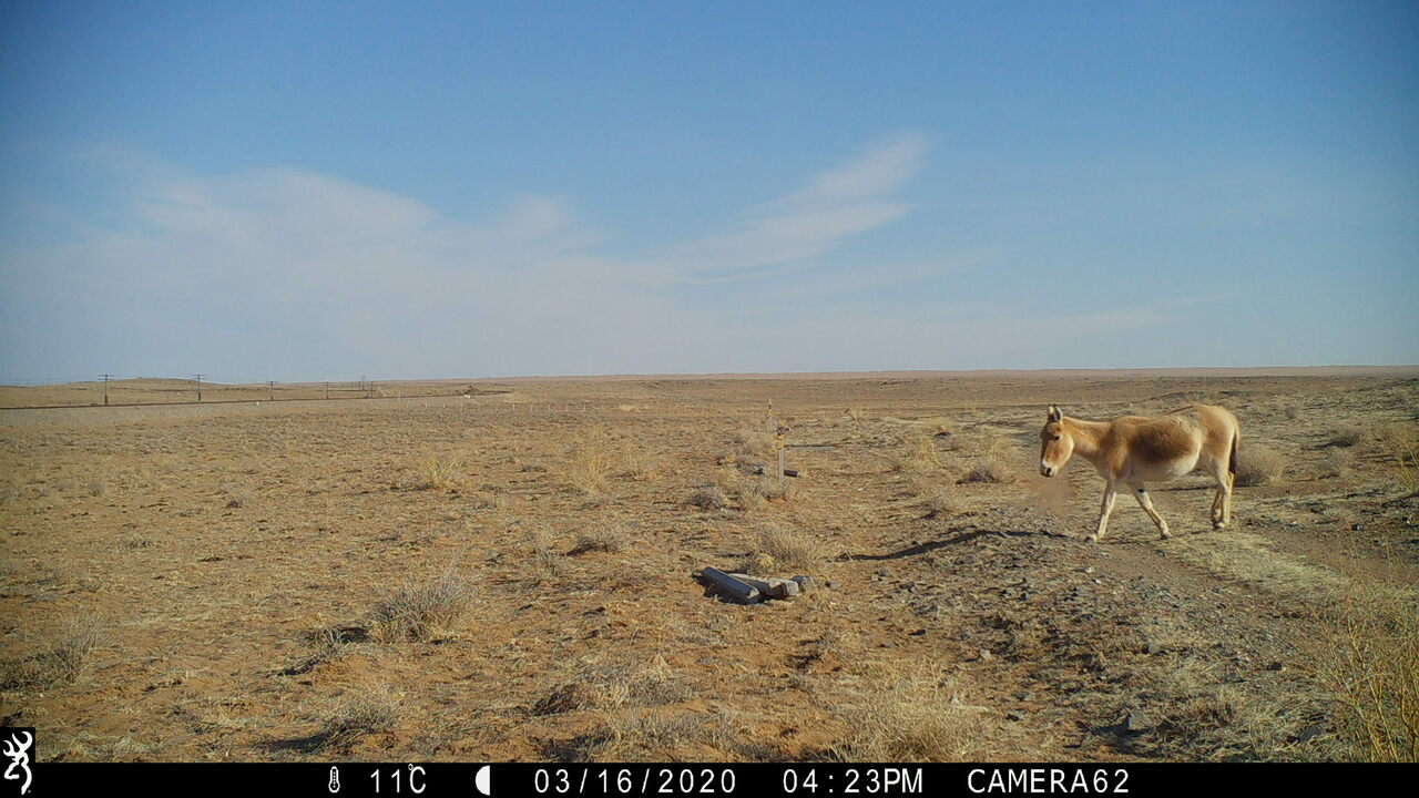 This intrepid individual was the first khulan to set foot on the eastern steppe since 1955.