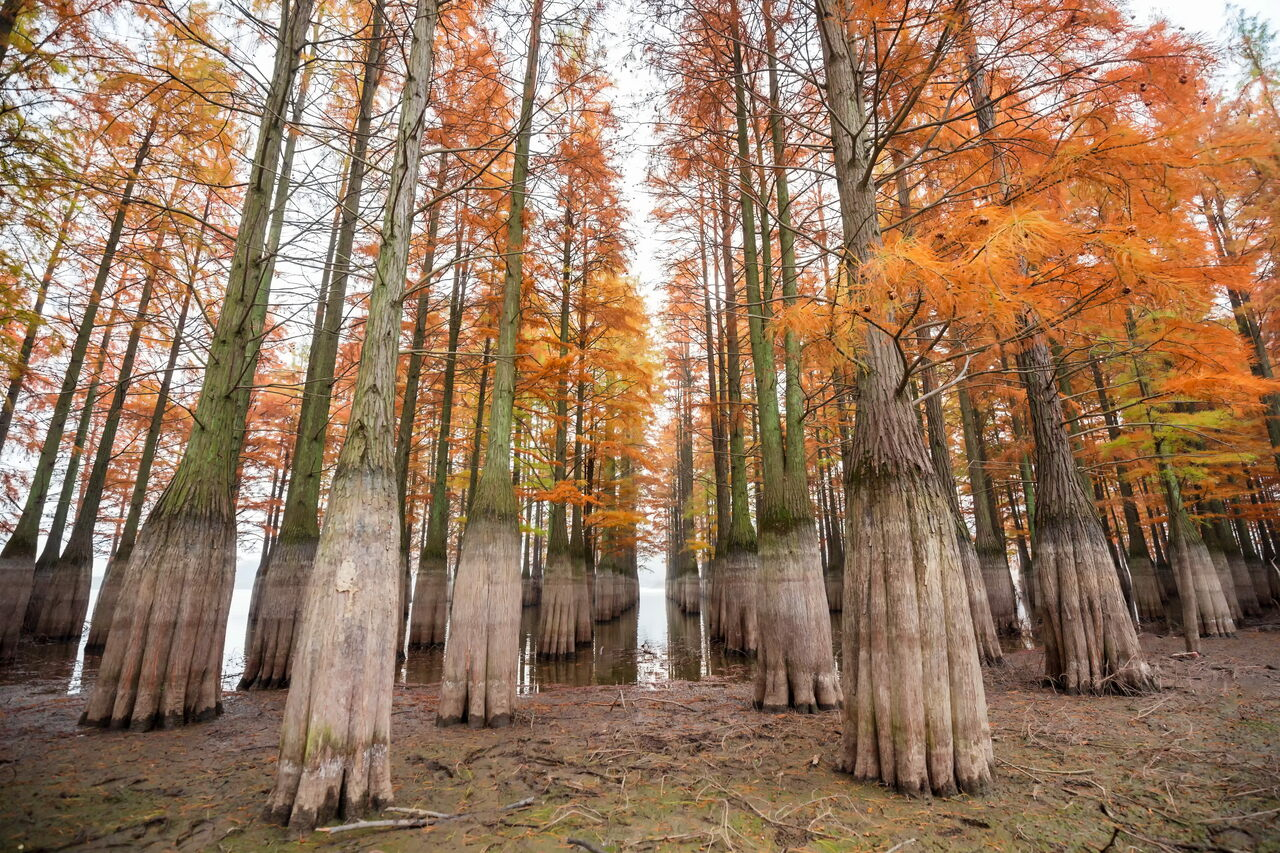 Dawn redwoods, like these in China, once grew on remote, Arctic Ellesmere Island.