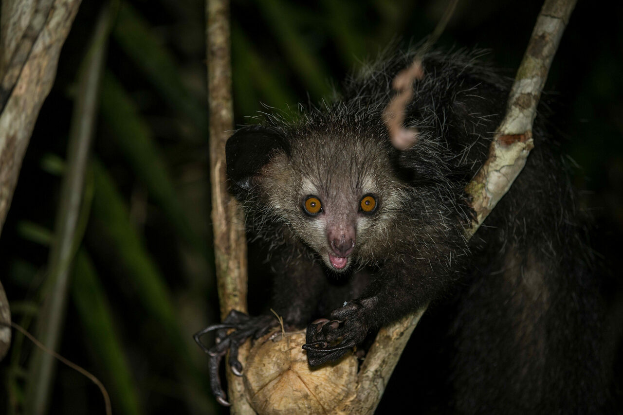 It's an aye-aye surprise! Madagascar's battiest lemur is the only primate with four thumbs.