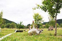 Forget 'Big Goat' Propaganda, Geese Are Better at Mowing And Always Have Been