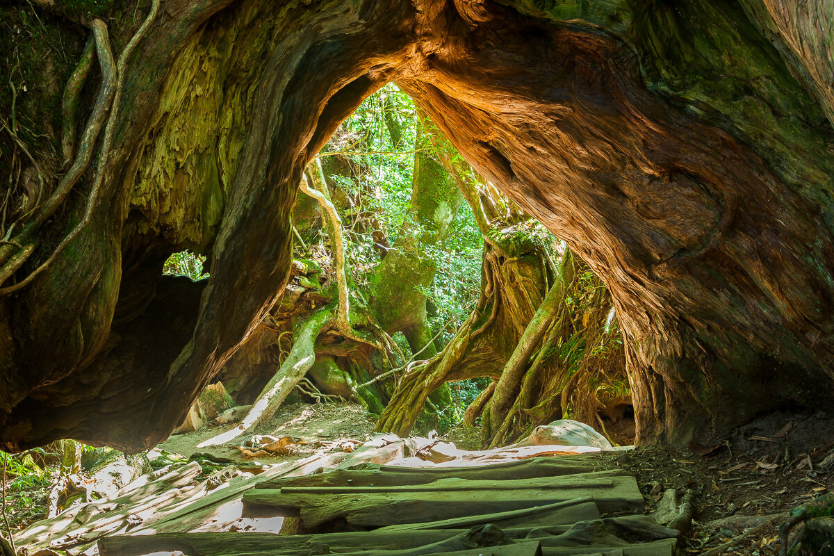 Triangular openings that hikers can crawl through are born from the forking of trunks at the base of large trees.