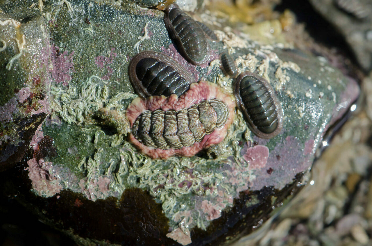 Do chitons have brains? What is a brain, anyway?
