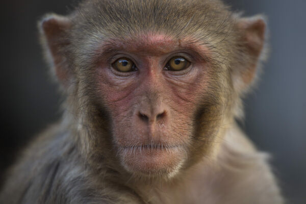 Can India Solve Its Macaque Conundrum With Contraception?