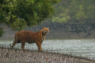 A tiger steps out in a biosphere reserve in the Sundarbans.