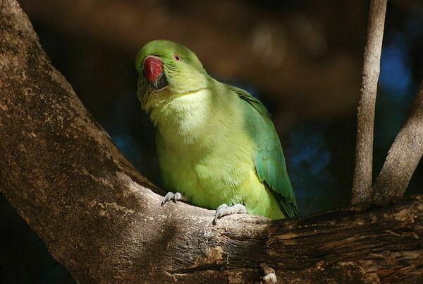 In Search of Opium, Parrots Are Wreaking Havoc on India's Poppy Fields
