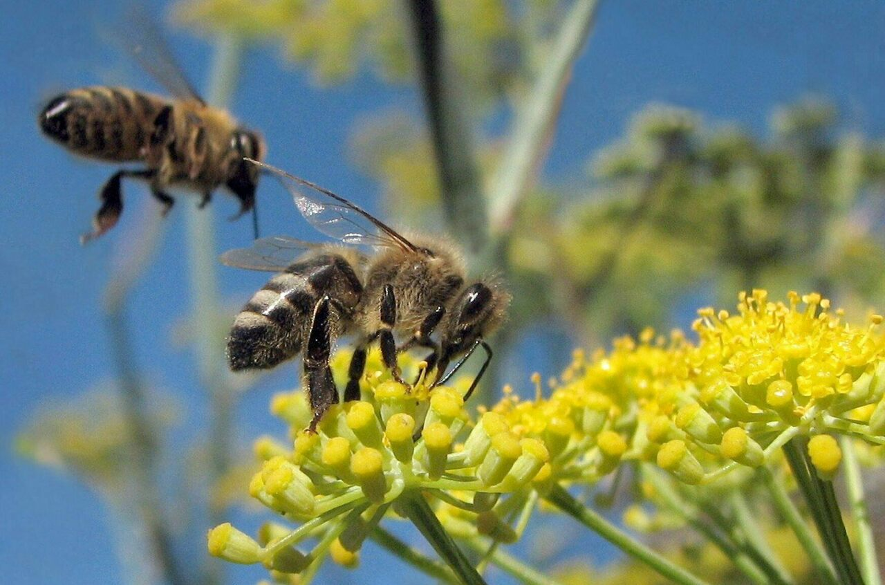 Bees, pictured here flocking to wild fennel, could have gotten more than they're bargaining for.