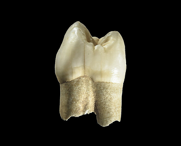 The Neanderthal premolar unearthed in Wezmeh Cave.