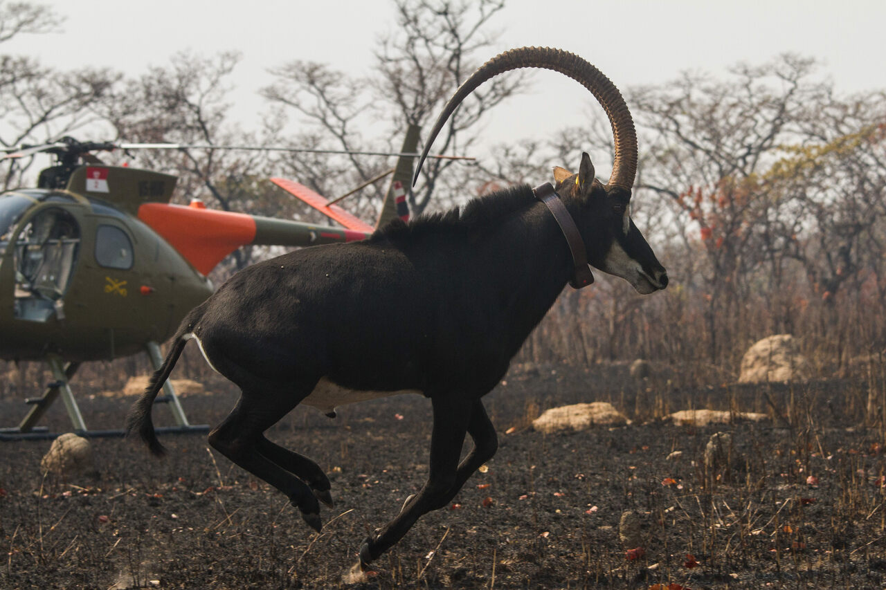 GPS collars helped scientists track the animals.