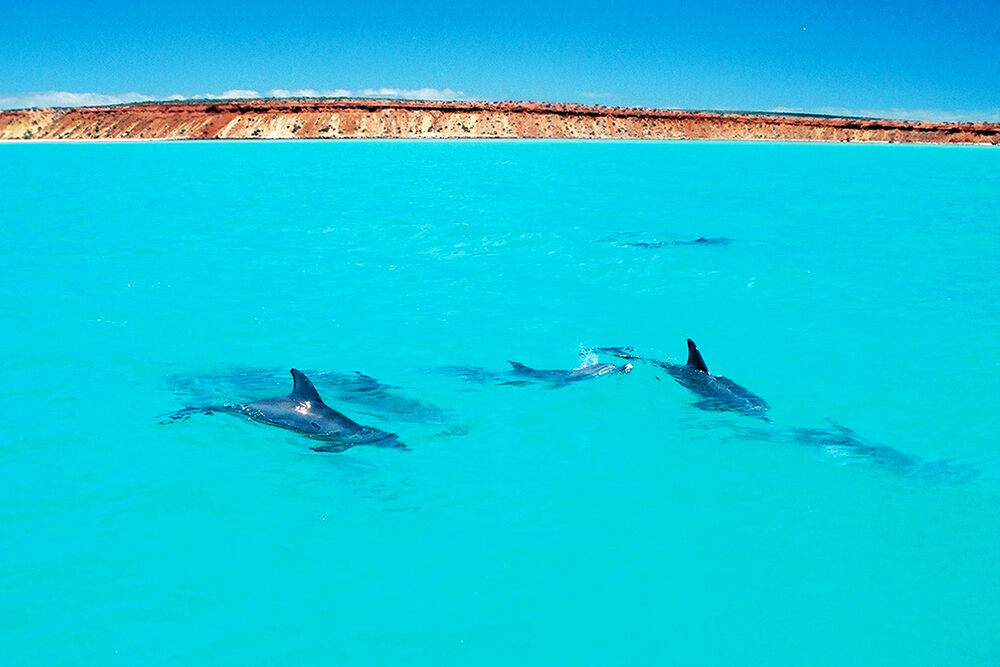 Dolphins just off the Peron Peninsula in Shark Bay, Australia.