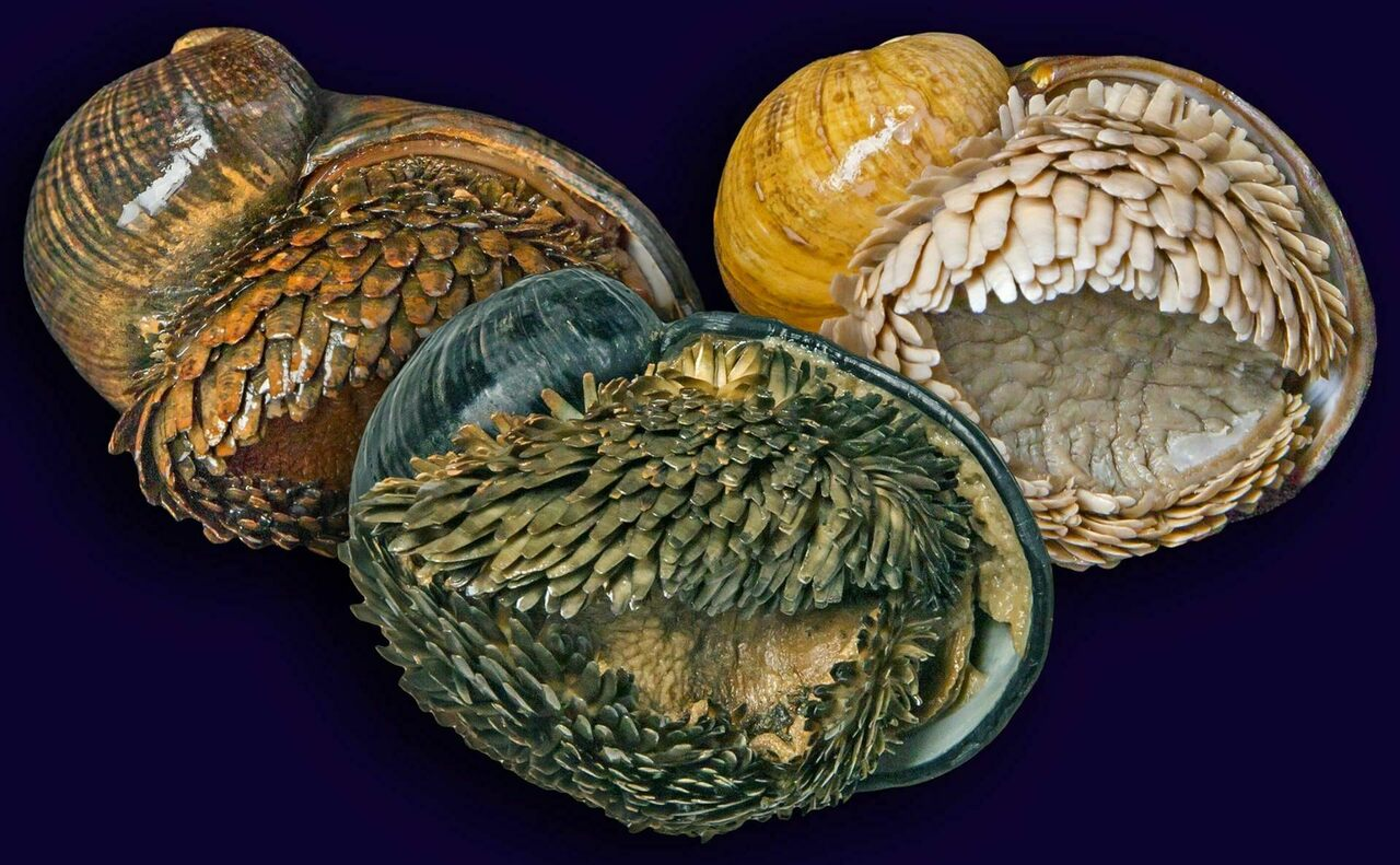 Each isolated scaly-foot population lives by a hydrothermal vent with different iron levels, which change the color of the mollusk's shells.