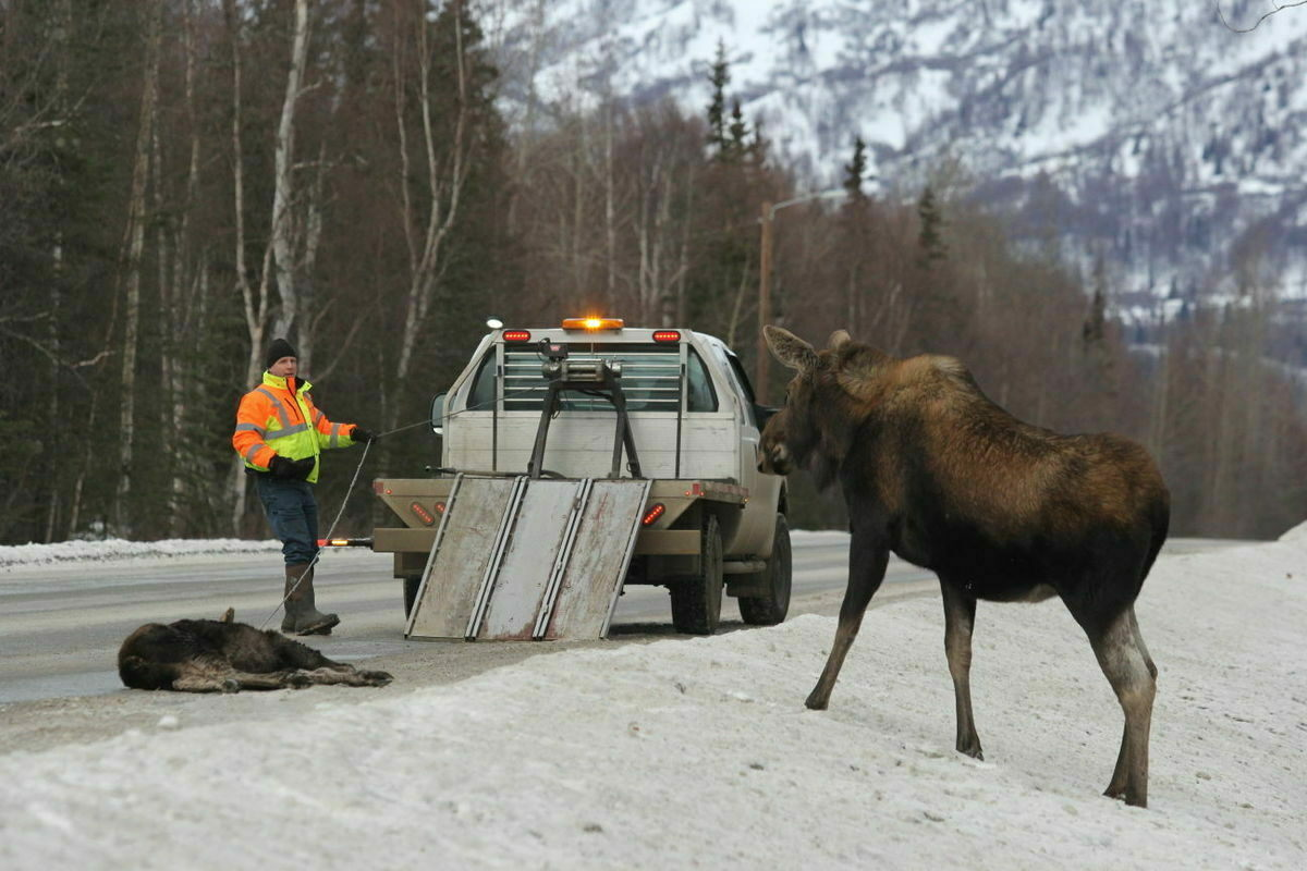 Don Dyer of the Alaska Moose Federation stares down a moose cow trying to protect the body of her dead calf in 2016.