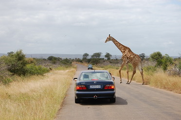 A giraffe surprises some tourists at South Africa's Kruger National Park.
