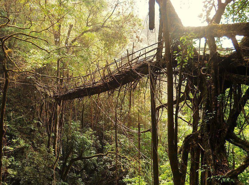The living bridges are vital in the rainy season.