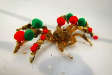 Majoid crabs, known as decorator crabs, are well-known for adorning their carapace with sponges, algae and marine debris.