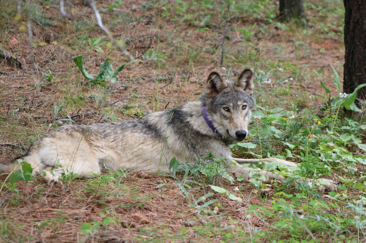 OR-93, the Oregon wolf that traveled to California in 2020.