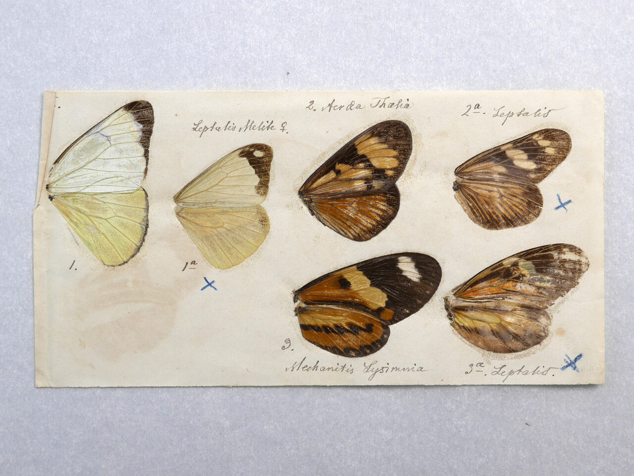 Butterfly wings from Fritz Müller.