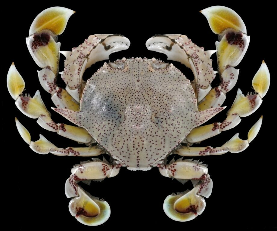 <em>Matuta victor</em>, an invasive Red Sea crab.