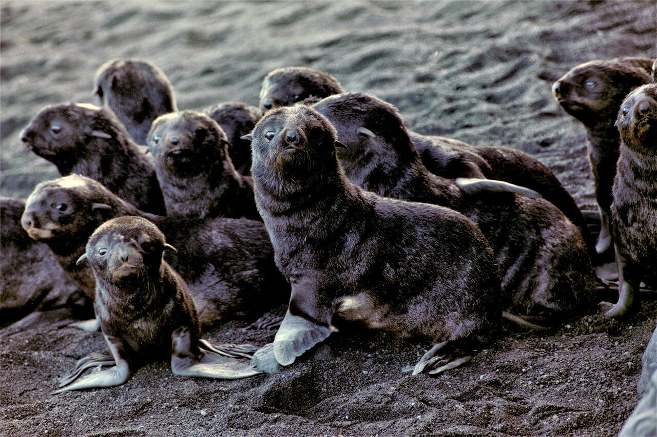 Northern fur seal pups on Bogoslof Island.