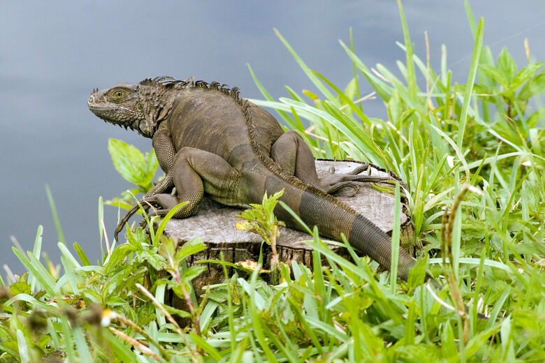 Unseasonably Cold Weather Littered South Florida With Stunned Iguanas