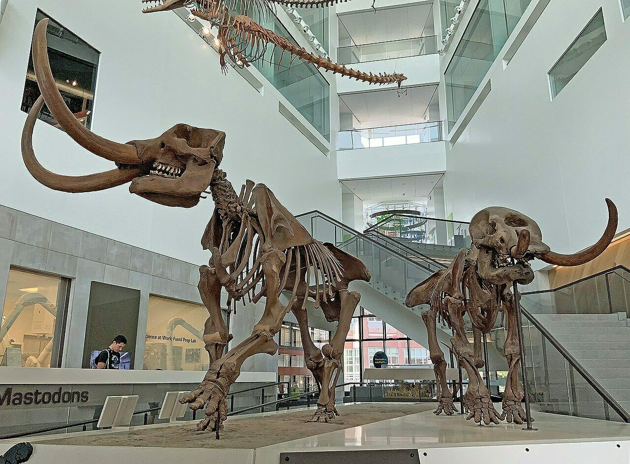 A mounted male (left) and female American mammoth at the University of Michigan Museum of Natural History. Both date to around 11,000 years ago.