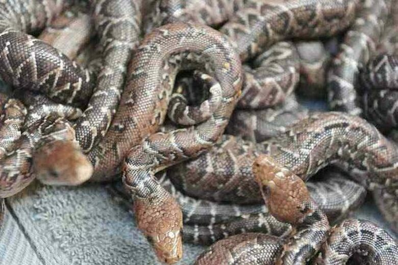 Found: Snakes That Hunt in Packs - Atlas Obscura