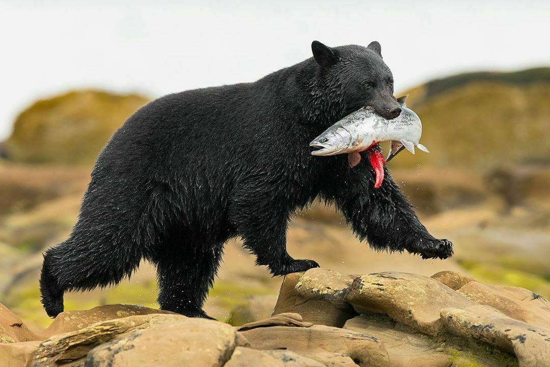 As omnivores, bear meat and fat typically take on the flavor of their diet.