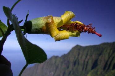 Behold, the <em>Hibiscadelphus woodii</em>.