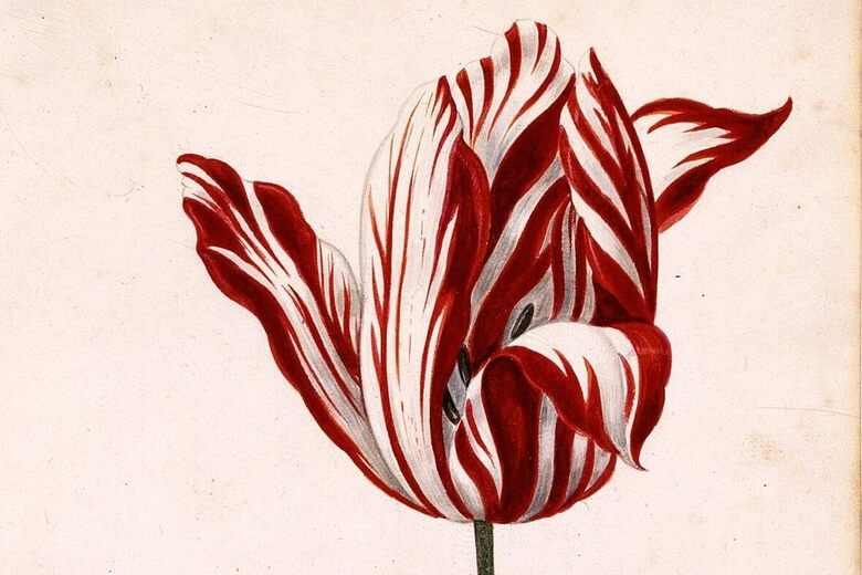 The Most Beautiful Tulip In History Cost As Much As A House Atlas