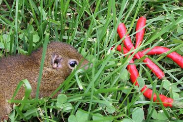 A tree shrew decides whether or not to eat a hot pepper.
