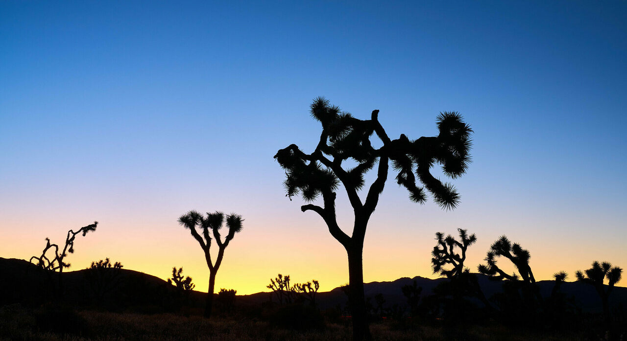 It's hard to picture Joshua Tree without its goofy namesakes, but they're in trouble.