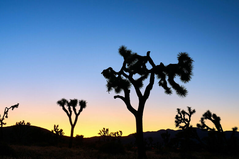The Art and Science of Falling in Love With Joshua Trees