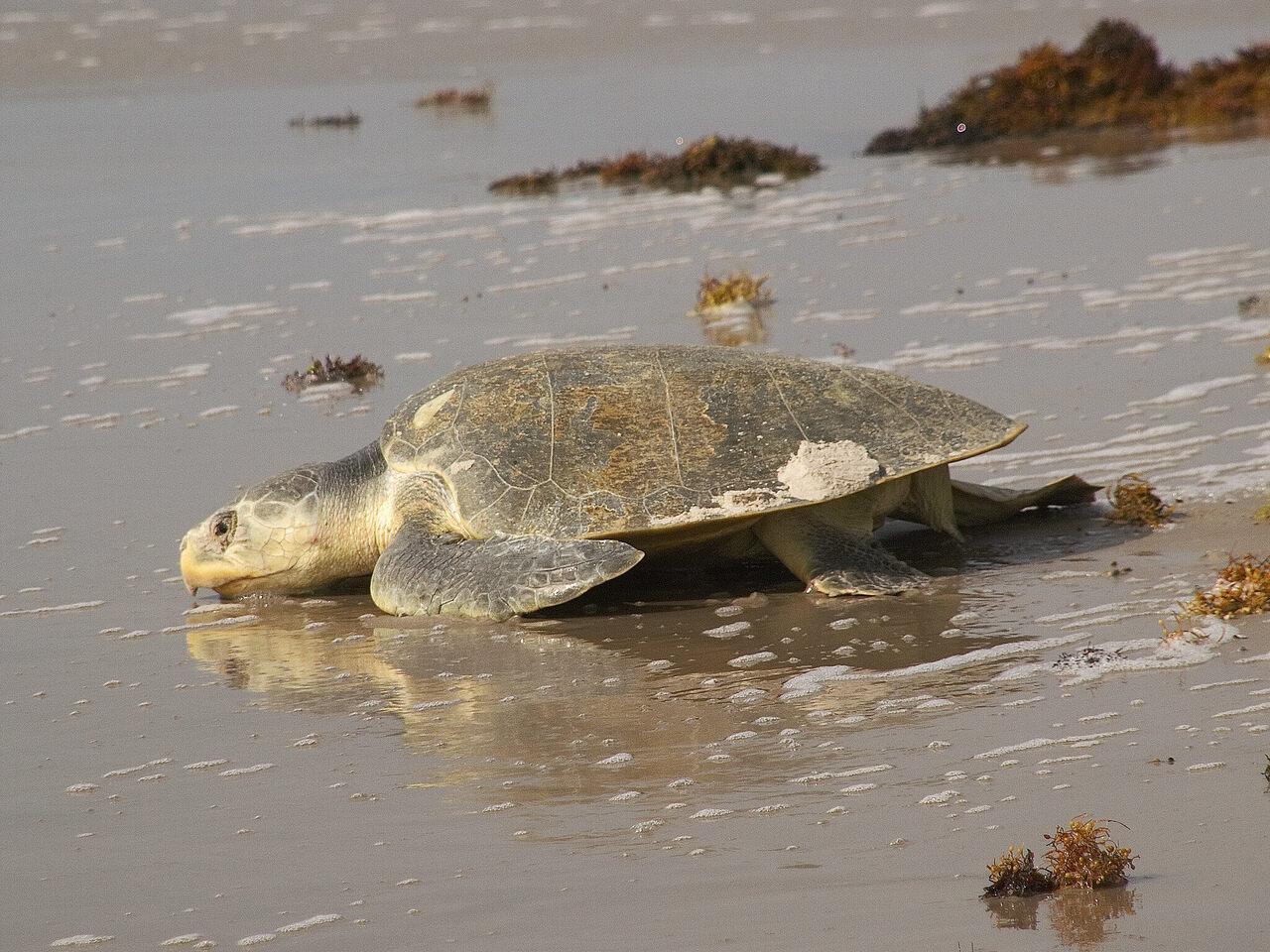 An adult Kemp's ridley sea turtle heading to sea.