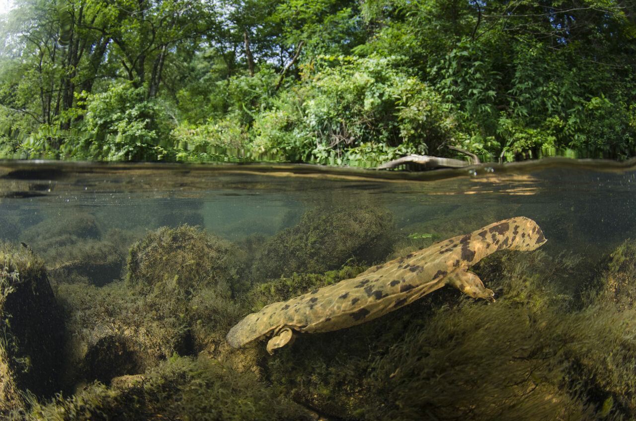 An Eastern hellbender photographed in the Hiwassee River in Tennessee.