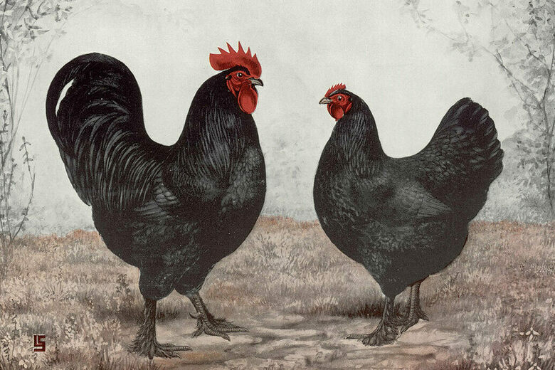 The Poultry Pin-Up Art That Showed Off Breeders' Best