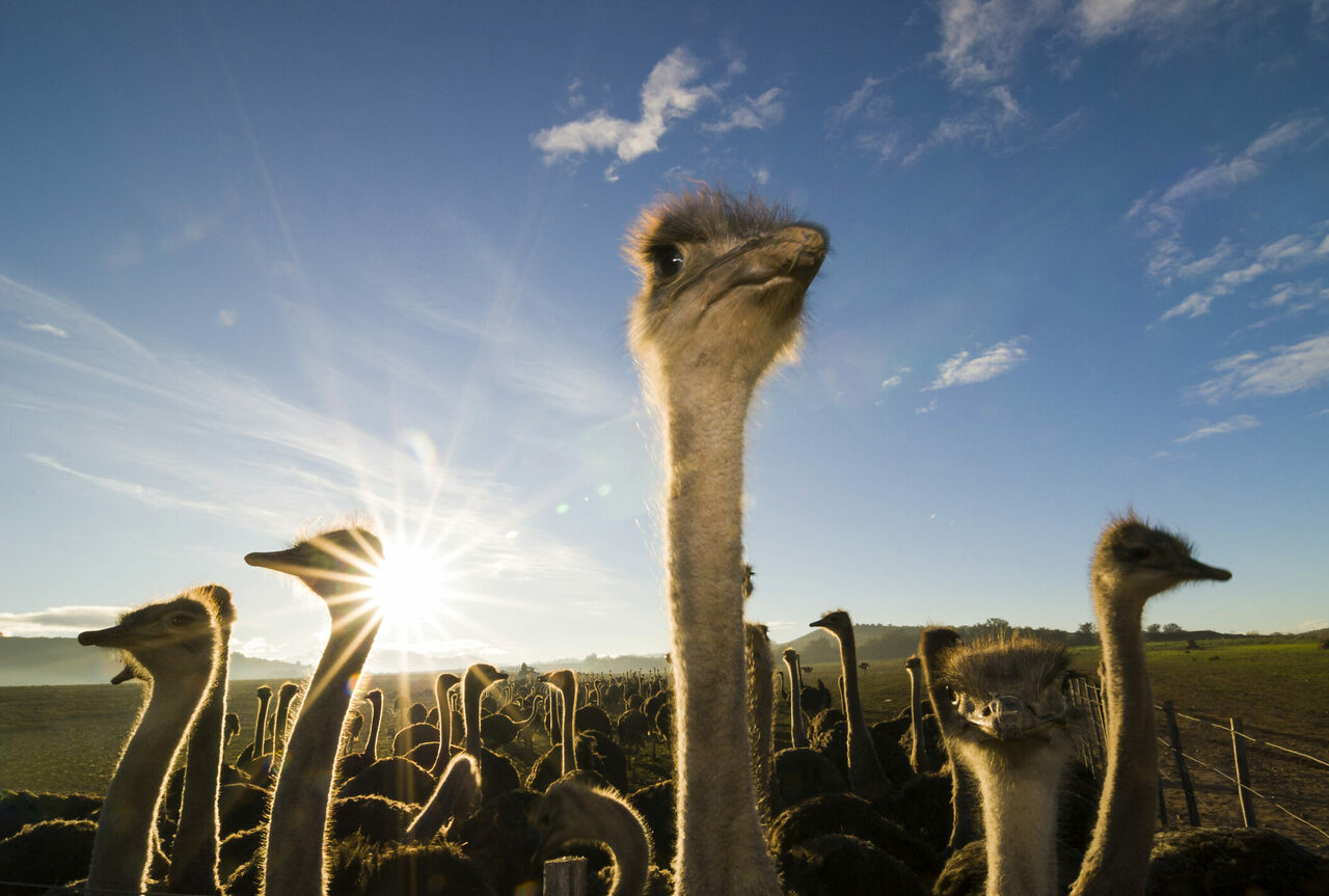 Ostriches on a farm in Oudtshoorn, South Africa.