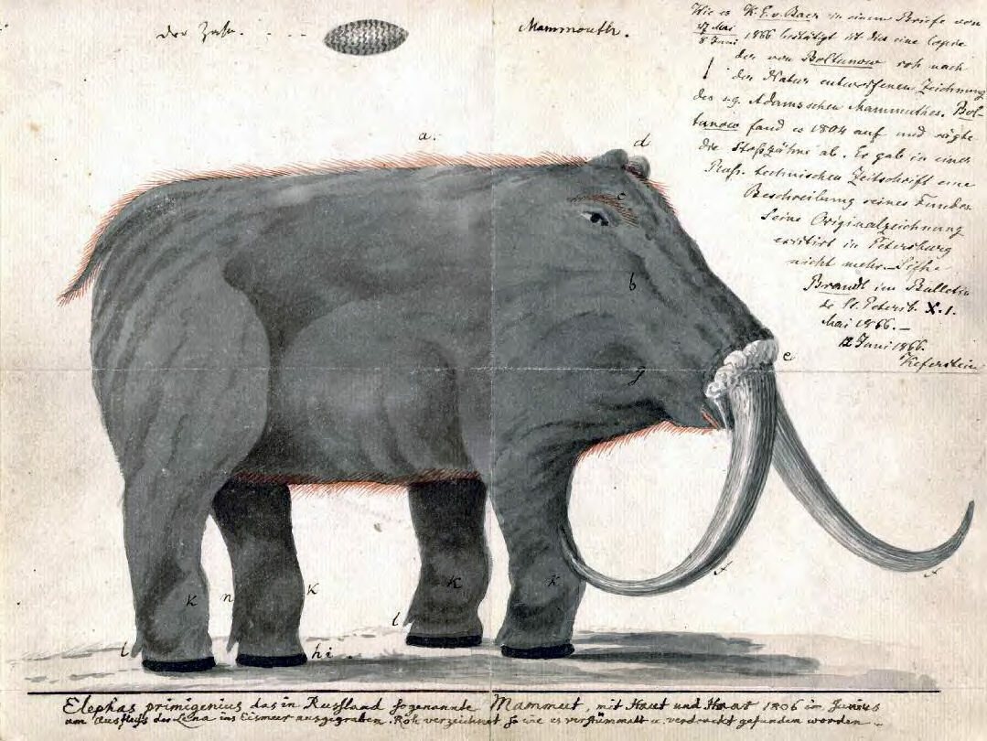 Johann Friedrich Blumenbach's copy of Boltunov's drawing of the mammoth (which has since been lost).