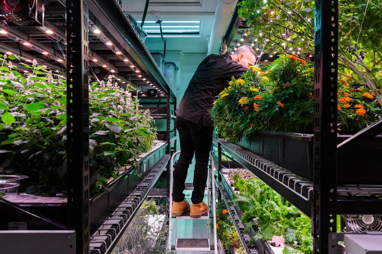 Farm Manager Tom Rubino harvests marigolds at Farm.one.