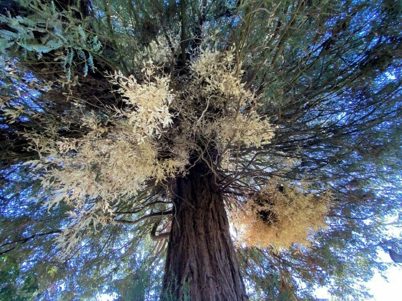 Albino redwoods, which do not produce chorophyll, and even rarer chimera redwoods, which have patches of albinism, may hold clues to an ecosystem's health, according to preliminary research.