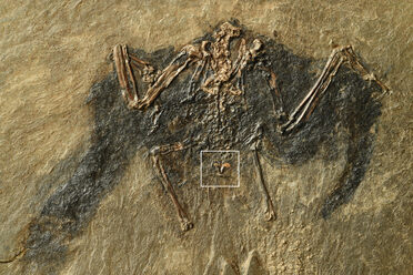 The structure though to be this fossilized bird's uropygial gland is in the box at center.