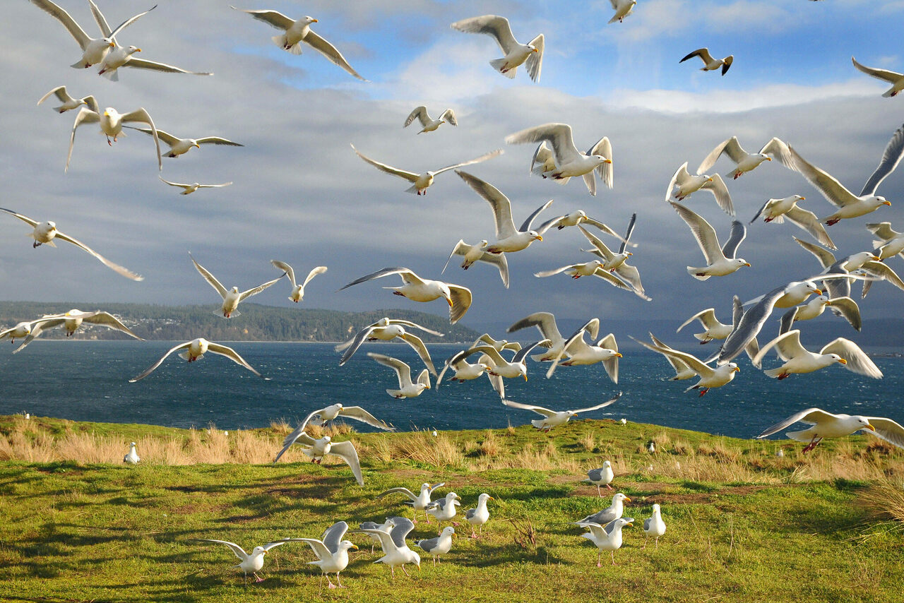 Protection Island has long been an important breeding ground for several species of gull.