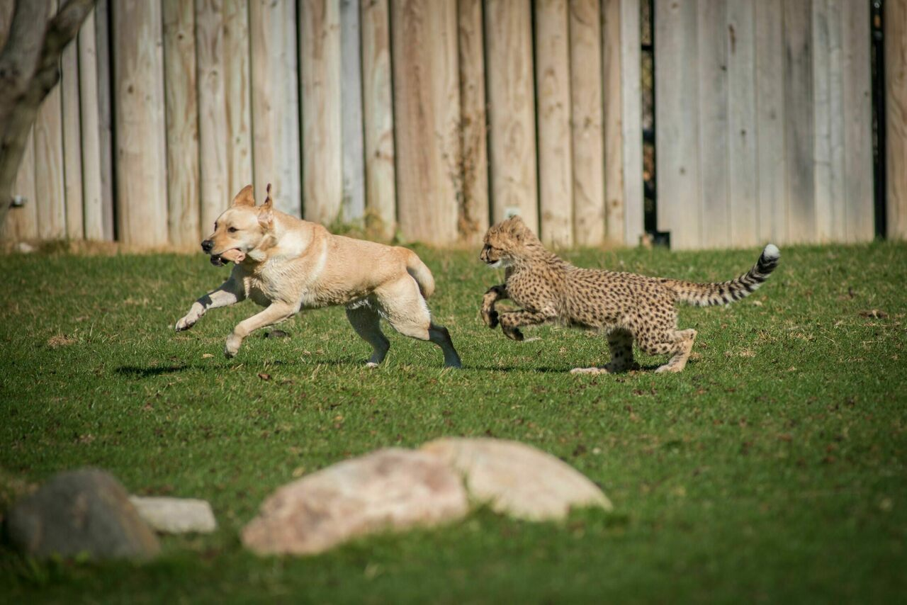 Emmett the cheetah chases Cullen, his companion Labrador retriever, at the Columbus Zoo and Aquarium.