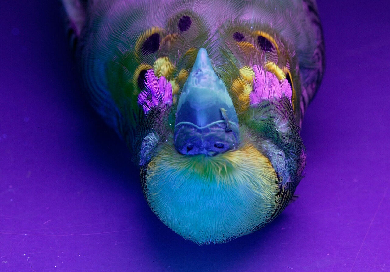 A budgie fluoresces under ultraviolet light.