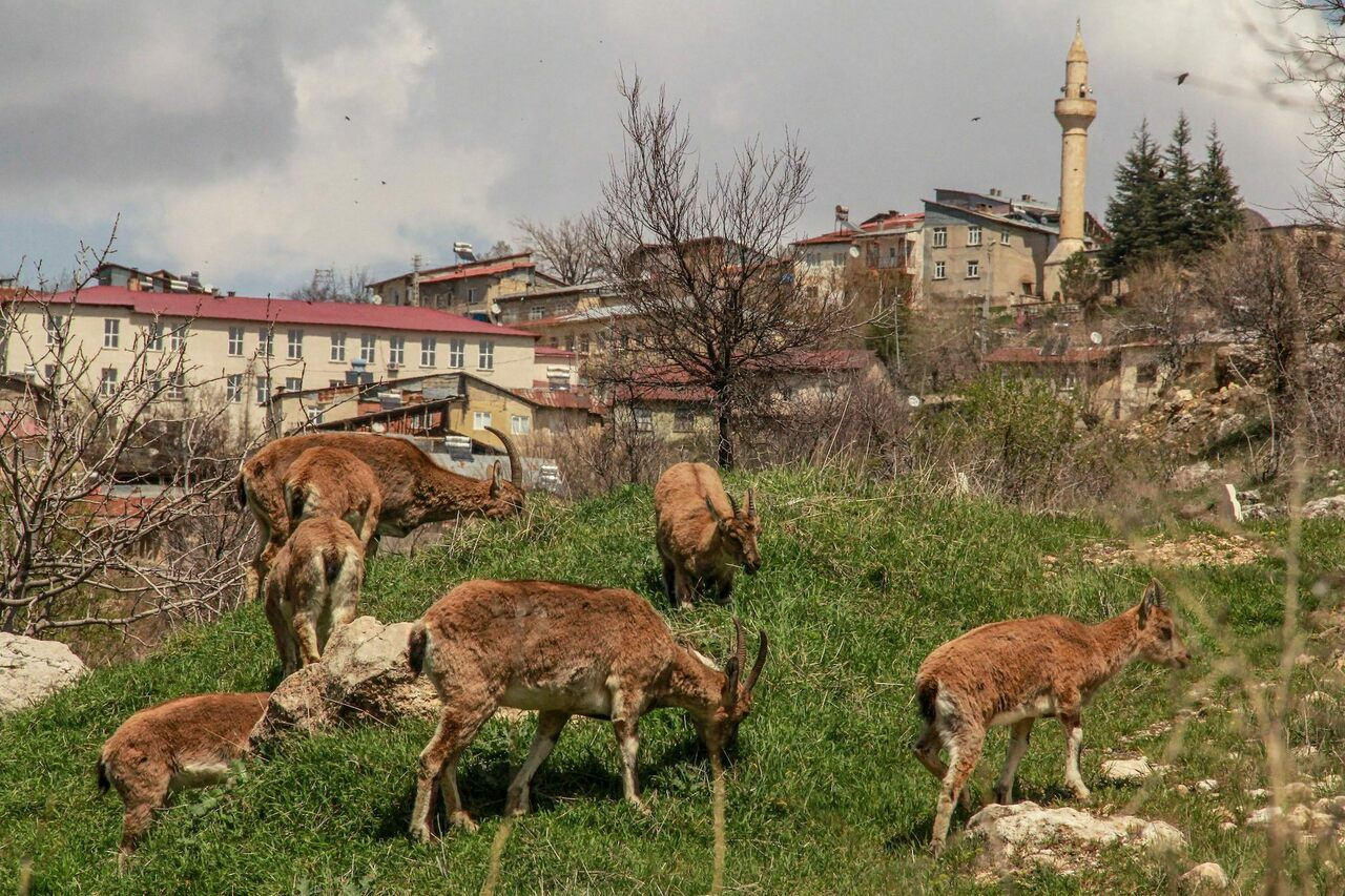 In the Turkish city of Çemişgezek, mountain goats left the Munzur mountains and began grazing in town.