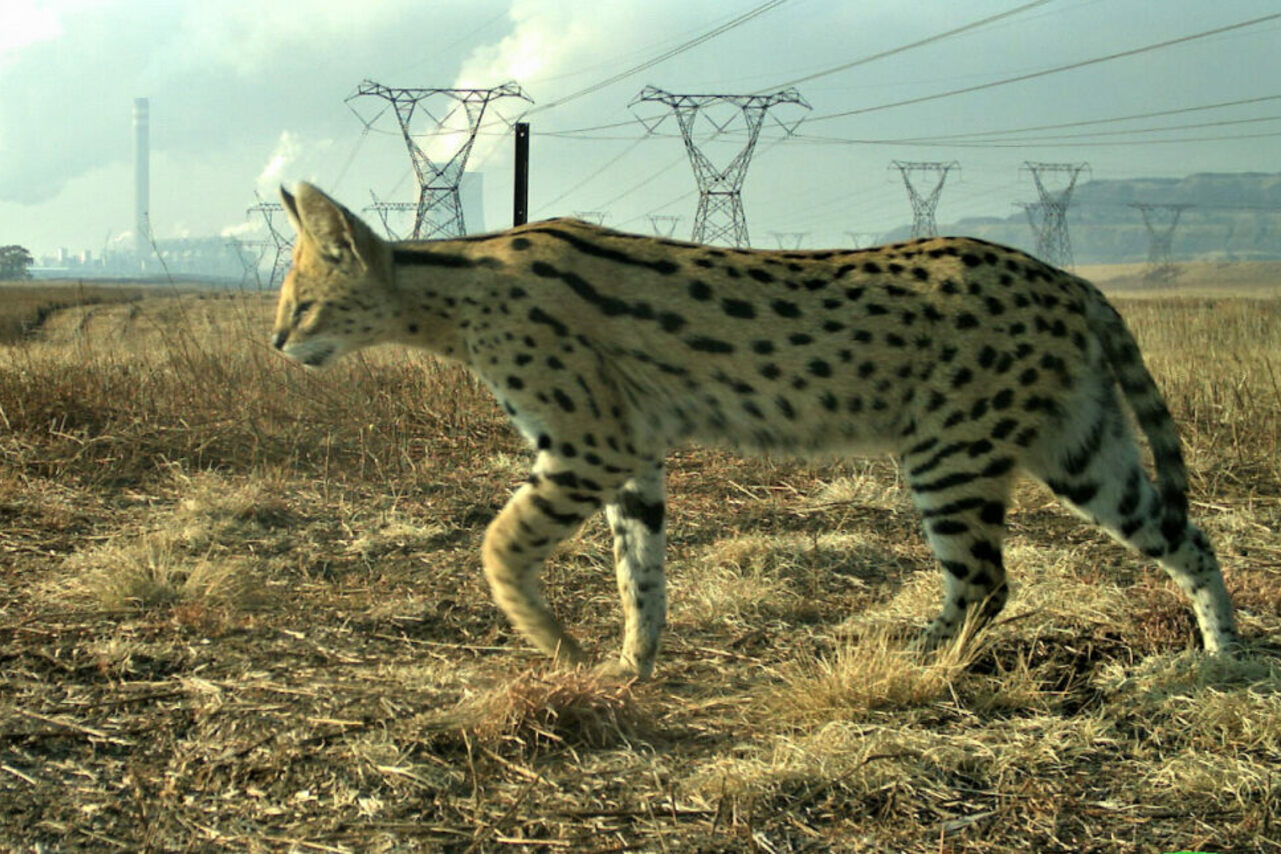 A serval, captured by a camera trap, stalks Secunda.