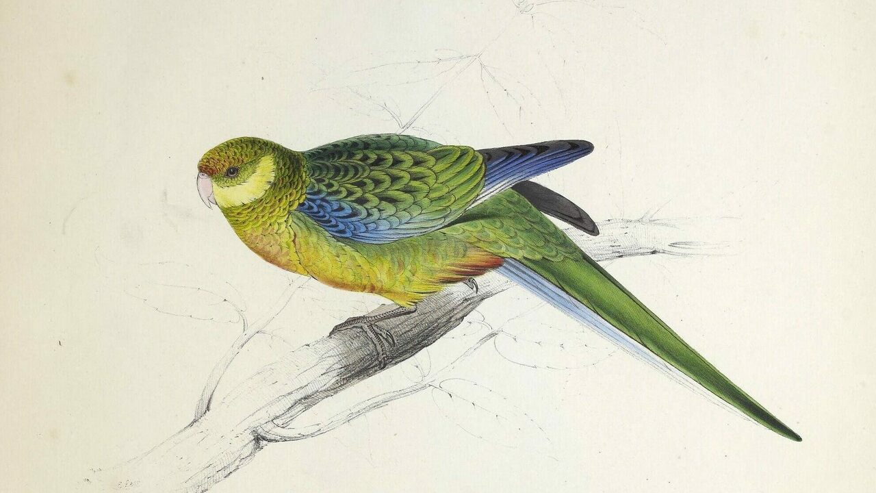 A Stanley parakeet, one of 42 plates in Edward Lear's <em>Illustrations of the Family of Psittacidae, or Parrots</em>.