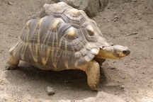 LOST: A Rare Tortoise Was Stolen From An Australian Zoo